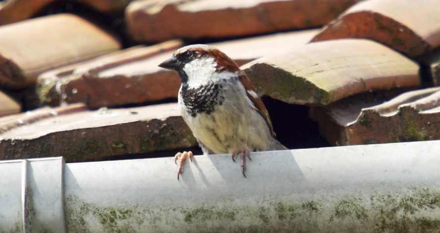 Nests And The Law Man Cautioned After Nest Removed From Loft The War On Wildlife Project